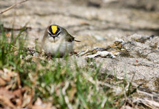Golden-Crowned Kinglet Royalty Free Stock Images