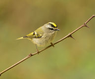 Golden-crowned Kinglet (Regulus satrapa) Royalty Free Stock Photography