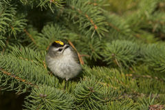 Golden-crowned Kinglet Royalty Free Stock Photography