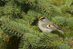 Golden-crowned Kinglet Stock Images