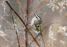 Golden Crowned Kinglet bird in winter, Georgia USA royalty free stock photo