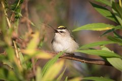 Golden-crowned Kinglet Swallowing Crane Fly Royalty Free Stock Image