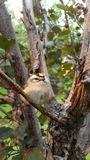 Golden Crowned Kinglet stock image