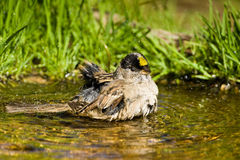 Golden Crowned Sparrow Stock Photos