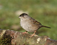 Golden-crowned Sparrow. Perched on log with blurred green background stock photos