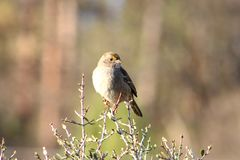 Golden-crowned sparrow on a bush stock image