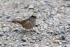 Golden-crowned Sparrow Royalty Free Stock Images