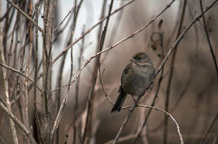 Golden-crowned Sparrow in the fall Royalty Free Stock Photo