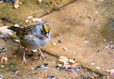Golden Crowned Sparrow stock photo