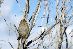 Golden Crowned Sparrow in a leaf bare tree with blue sky and clo. Uds in background. The golden-crowned sparrow, Zonotrichia atricapilla, is a large American Stock Photography