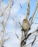 Golden Crowned Sparrow in a leaf bare tree with blue sky and clo. Uds in background. The golden-crowned sparrow, Zonotrichia atricapilla, is a large American Stock Images