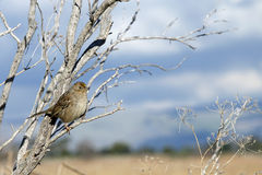 Golden Crowned Sparrow in a leaf bare tree with blue sky and clo. Uds in background. The golden-crowned sparrow, Zonotrichia atricapilla, is a large American Royalty Free Stock Photo