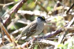 A golden crowned sparrow perched on a blackberry vine. On a sunny day royalty free stock photo