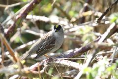 A golden crowned sparrow perched on a blackberry vine. On a sunny day stock image