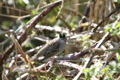 A golden crowned sparrow perched on a blackberry vine. On a sunny day stock photos