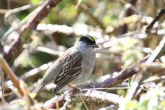 A golden crowned sparrow perched on a blackberry vine. On a sunny day royalty free stock photos