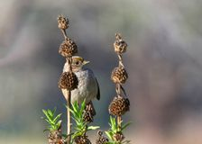 Golden crowned sparrow sitting in a dormant flower bush. Golden-crowned Sparrow sitting in bushes behind flower seed pods. The golden-crowned sparrow is common stock images