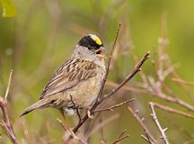 Golden-crowned Sparrow Stock Images