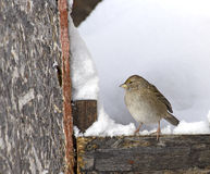 Golden-Crowned Sparrow in Winter Royalty Free Stock Images