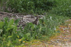 Golden-crowned sparrow (Zonotrichia atricapilla) Royalty Free Stock Photo
