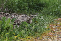 Golden-crowned sparrow (Zonotrichia atricapilla) Royalty Free Stock Photos
