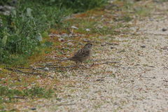 Golden-crowned sparrow (Zonotrichia atricapilla) Royalty Free Stock Image