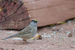 Golden-crowned Sparrow Royalty Free Stock Photos