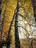Golden crowns of birch branches stock photos