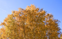 Golden crowns of the birch trees on blue sky background Royalty Free Stock Photos