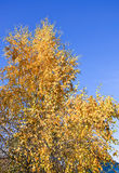 Golden crowns of the birch trees on blue sky background Royalty Free Stock Photo