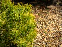 Golden cultivar dwarf mountain pine Pinus mugo Ophir with beautiful green with golden tips of needles on the shore of small bright. Pebbles in the sunny winter royalty free stock photography