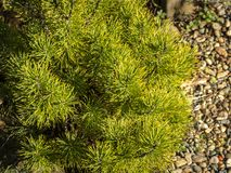 Golden cultivar dwarf mountain pine Pinus mugo Ophir with beautiful green with golden tips of needles on the shore of small bright. Pebbles in the sunny winter royalty free stock photo