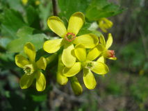 Golden currant blossoms (Ribes aureum). Ribes aureum is a shrub native to Canada, United States and northern Mexico. It is widely cultivated as an ornamental Royalty Free Stock Image