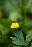 Golden Currant. Simeria Natural Park Royalty Free Stock Photo