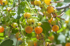 Golden currants Royalty Free Stock Photos