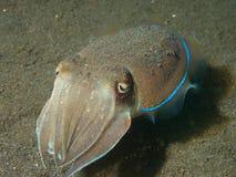 Golden Cuttlefish Stock Photos