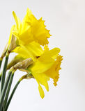 Golden daffodil Stock Photography