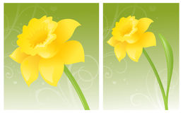 Golden Daffodil. Crisp yellow daffodil on green background Royalty Free Stock Images