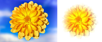 Golden Dahlia two versions. Golden Dahlia against the sky and faded edges on white Royalty Free Stock Photo