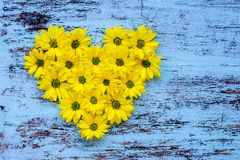 Golden-daisy flowers in heart shape on blue wooden backg royalty free stock photography