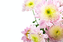 Golden-daisy isolated. Pink fresh golden-daisies (chrysanthemum) isolated on a white background. More isolated flowers you may see in my portfolio Stock Image