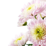 Golden-daisy isolated. Pink fresh golden-daisies (chrysanthemum) isolated on a white background. More isolated flowers you may see in my portfolio Stock Photos
