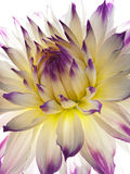 Golden-daisy Royalty Free Stock Image