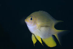 Golden damselfish Stock Image