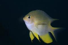 Golden damselfish Stock Image