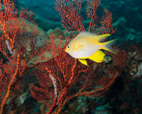Golden damselfish. And red gorgonian coral Royalty Free Stock Photography