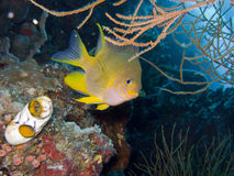 Golden Damselfish. Amblyglyphidodon aureus  (Cuvier, 1830) Golden Damselfish and Polycarpa Aurata Ink-Spot Sea Squirt. Adults occur in steep outer reef Stock Photography