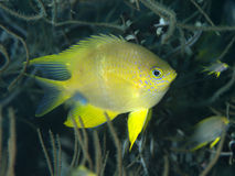 Golden damselfish Stock Images