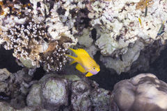 Golden damselfish at Surin island Stock Photos