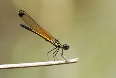 Golden Damselfly Stock Photos